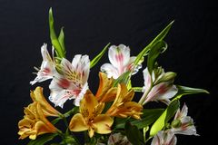 Bouquet of alstromeria flowers on a black background. stock photography