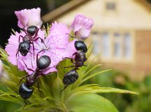 Bouquet of ants. Garden ants on turkish pink and summerhouse Stock Photo
