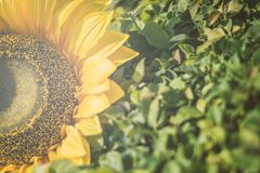 Bouquet of artificial sunflower on green leaves. Bouquet of artificial sunflower on green leaves in the park Stock Photos