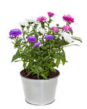 Bouquet of Aster Flowers in a silver metal floerpot. Bouquet of three colors Aster Flowers in a silver metal floerpot for inside and otside decoration on white Royalty Free Stock Photos