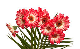 Bouquet of asters. Royalty Free Stock Image