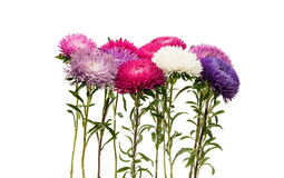 a bouquet of asters Royalty Free Stock Photo