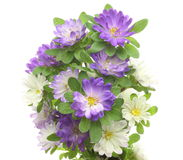 Bouquet of asters in a white background Stock Photo
