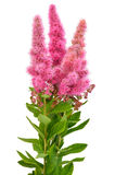 Bouquet of astilbe flowers Royalty Free Stock Image