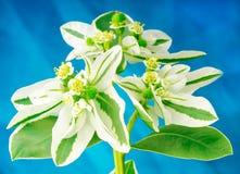 Bouquet au-dessus de fond bleu Images libres de droits