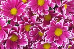 Bouquet of autumn chrysanthemums closeup Stock Photography