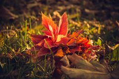 Bouquet of autumn leaves. A beautiful bouquet of yellow and red autumn maple leaves is on the green grass in the park stock images