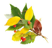 Bouquet from autumn leaves and rowan royalty free stock image
