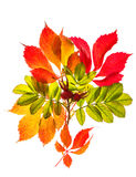 Bouquet of autumn red and yellow leaves isolated on white Royalty Free Stock Photos
