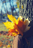 Bouquet of autumn yellow leaves is tied by a scarf to a tree trunk against the background of the autumn park. Autumn background with colourful leaves in Stock Photo