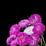 Bouquet avec du charme des asters roses Photos libres de droits