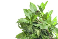 Bouquet of basil leaf Stock Images