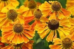 Bouquet of beautifu Helenium flowers Stock Image