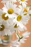 Bouquet of beautiful camomiles royalty free stock photo