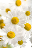 Bouquet of beautiful camomiles isolated royalty free stock photo