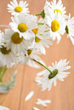 Bouquet of beautiful chamomiles Royalty Free Stock Images