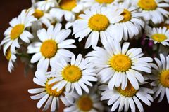 Summer bouquet of daisies-white petals and yellow Middle royalty free stock photography