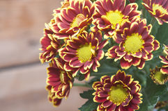 Bouquet of beautiful chrysanthemums Stock Images