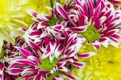 Bouquet of beautiful colorful chrysanthemums, close-up Stock Photography