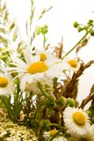 Bouquet of beautiful daisy Stock Photography
