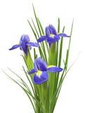 Bouquet of beautiful irises Stock Photography