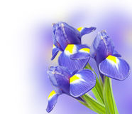 Bouquet of beautiful irises Royalty Free Stock Photography