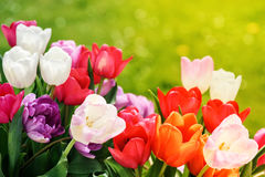 Bouquet of beautiful multicolor tulips Stock Images