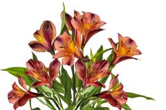 Bouquet of beautiful orange yellow Alstroemeria flowers isolated. On white background - delicate detail of spring or summer floral festive design stock photo