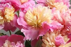Bouquet of beautiful peony flowers. Closeup Stock Photo