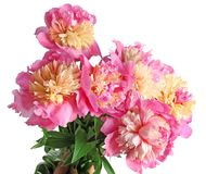 Bouquet of beautiful peony flowers. On light background, closeup Stock Photography