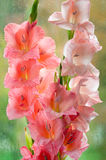 Bouquet of beautiful pink gladiolus Stock Photo