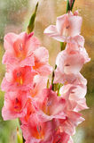 Bouquet of beautiful pink gladiolus royalty free stock image