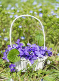 Bouquet of beautiful purple violets flowers in a white basket Stock Photos