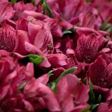 Bouquet of beautiful red alstroemeria. Beautiful lush bouquet of beautiful bright alstroemeria stock photos