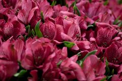 Bouquet of beautiful red alstroemeria. Beautiful lush bouquet of beautiful bright alstroemeria royalty free stock photos