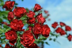 Bouquet of beautiful red roses with green leaves against the blue sky. Stock Photos