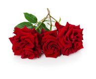 Bouquet of beautiful red roses on the white background Royalty Free Stock Image
