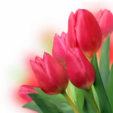 Bouquet of beautiful red tulips. Stock Photography