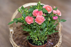Bouquet of beautiful roses in a wooden basket Stock Images