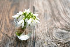 Bouquet of beautiful spring first flowers snowdrops Royalty Free Stock Photography