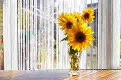 Bouquet of beautiful sunflowers. beautiful blooming sunflower close up. Bouquet of beautiful sunflowers stands in front of the window royalty free stock photo