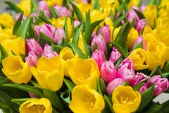 Bouquet tulips Stock Image