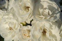 Bouquet of beautiful white rose. Fresh, blossom, nature stock photo