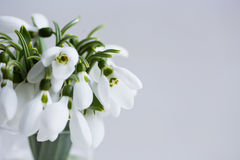 Bouquet of beautiful white snowdrops in vase on light background Royalty Free Stock Photography