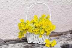 Bouquet of beautiful wild primroses flowers in a white basket Royalty Free Stock Photos