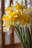 Bouquet of beautiful yellow daffodils Royalty Free Stock Image