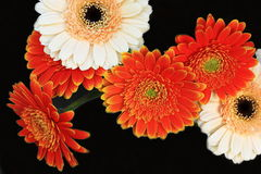Bouquet beautifully colored gerber Royalty Free Stock Photo