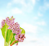Bouquet of Bergenia flowers against blue Royalty Free Stock Images
