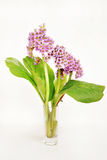 Bouquet of Bergenia flowers over white Stock Image