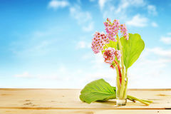 Bouquet of Bergenia flowers on wooden table against blue sky. Small bouquet of Bergenia flowers on wooden table against blue sky Royalty Free Stock Photo